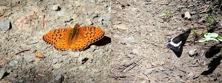 Butterflies enjoy the warm sunshine on Fullerton Loop trail