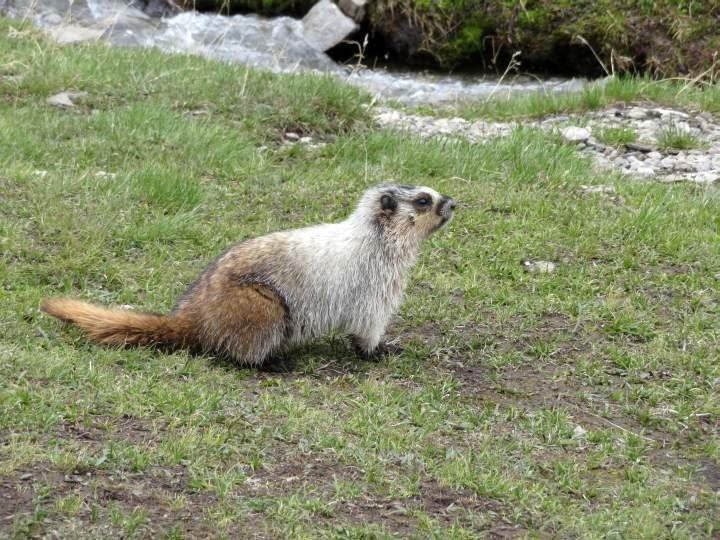 Marmot standing in the alpine meadow of Ptarmigan Cirque in Kananaskis