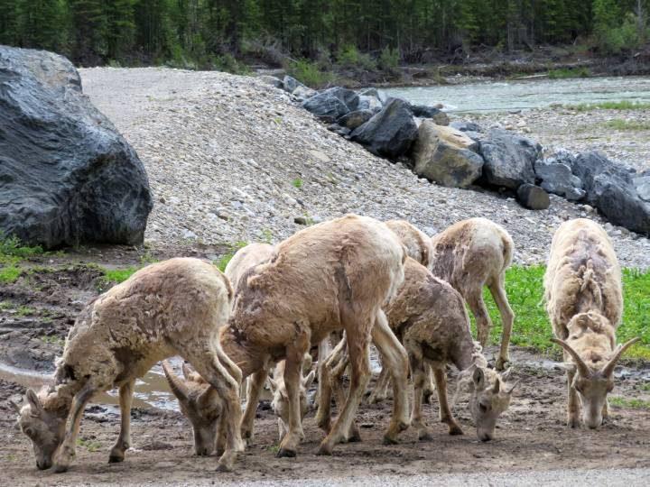 Mountain goats feeding alongside Alberta Hwy 40 in Kananaskis Country Canada