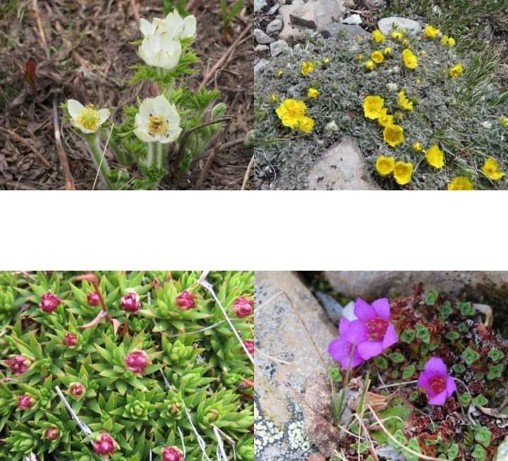 Colorful wildflowers along hiking Kananaskis hiking trails in Alberta Canada