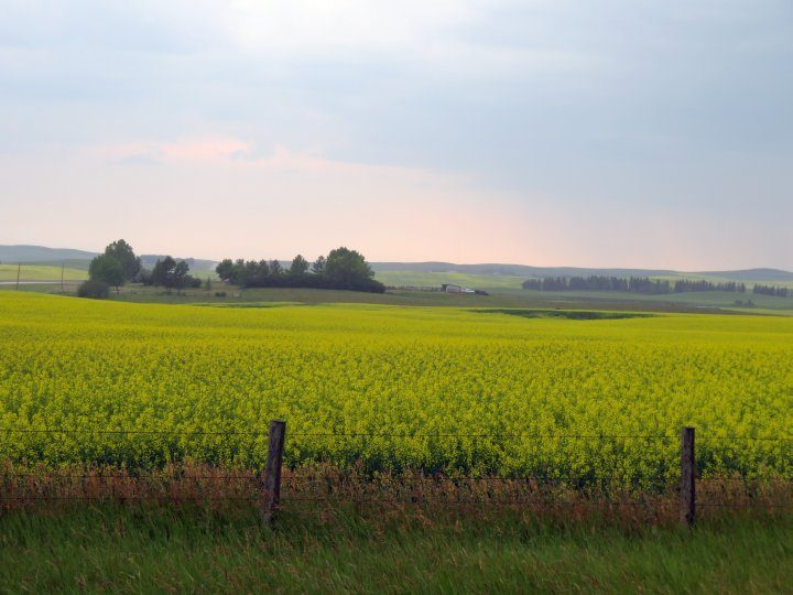 Scenic drive along canola fields from Drumheller to Calgary