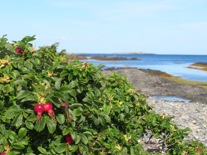 Rose bush at island near Blue Rocks Nova Scotia