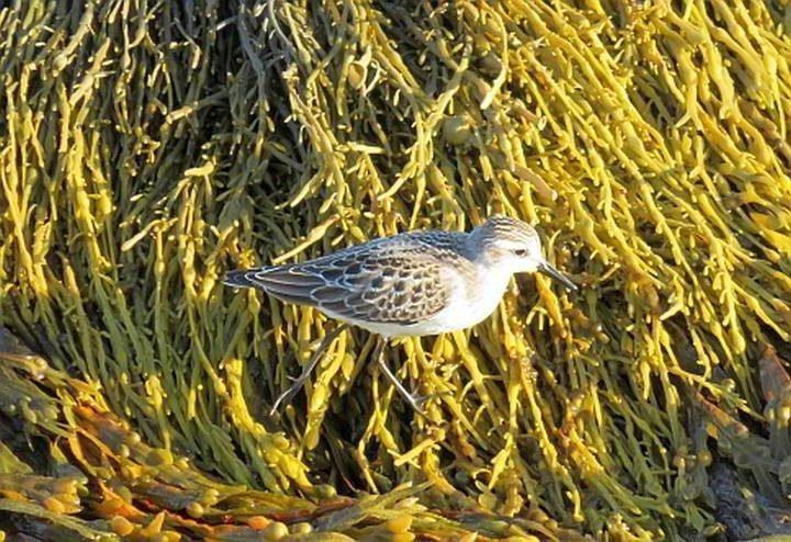 Sandpiper in the seaweed at Blue Rocks Nova Scotia