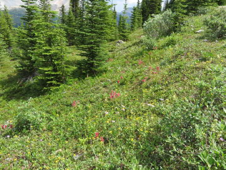 Wildflowers and evergreen trees are abundant along Peyto Lookout trail
