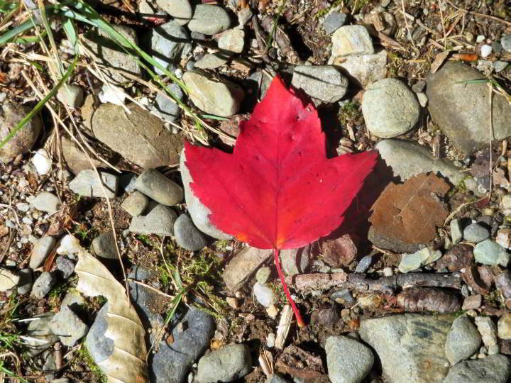 Red maple leaf on the trail at Camden Hills State Park in mid-coast Maine