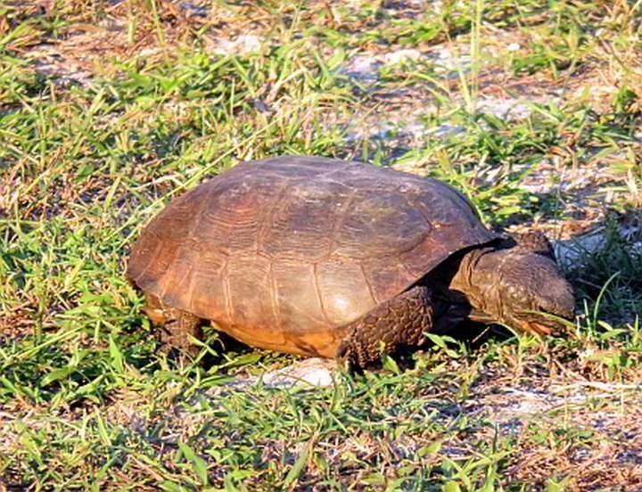 Gopher tortoise diet consists mostly of grass and legumes