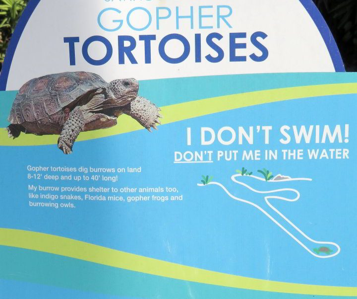 Gopher tortoises do not swim well - do not put them in the water