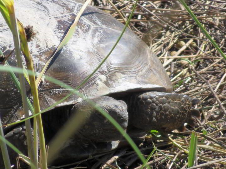 Gopher tortoises front legs has scales and is flattish, good for digging like a shovel