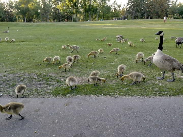 Goslings feeding at Prince's Island Park in downtown Calgary AB Canada