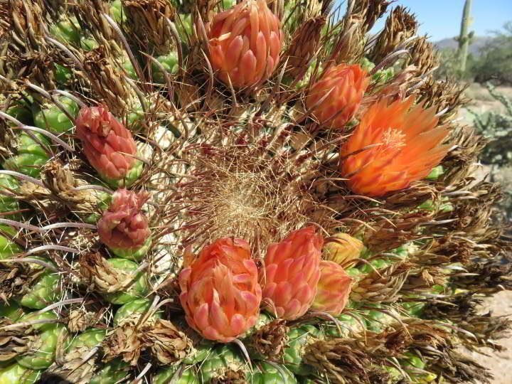 Orange cactus blooms at Saguaro National Park in Tucson