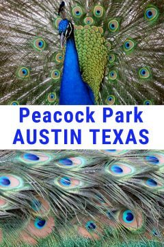 Peacock park Austin Texas Mayfield Park and Preserve features exotic peafowl