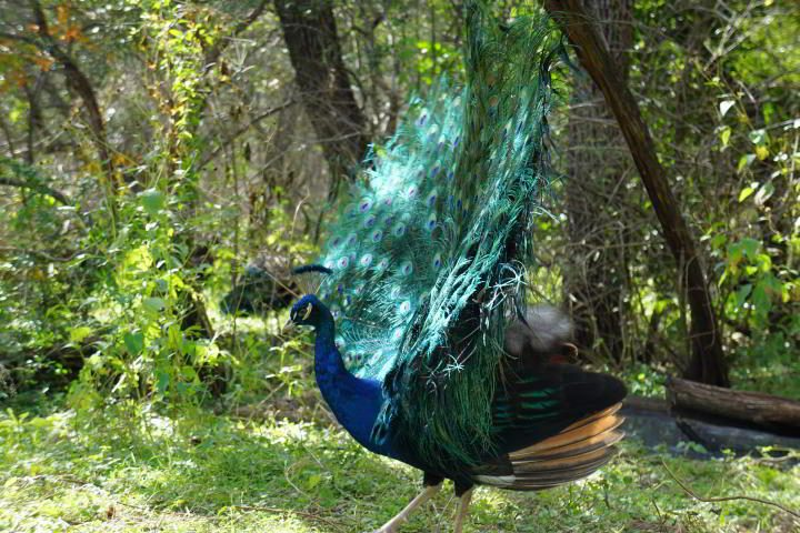 Blue peacock showing off his tail feathers at Mayfield Park and Preserve