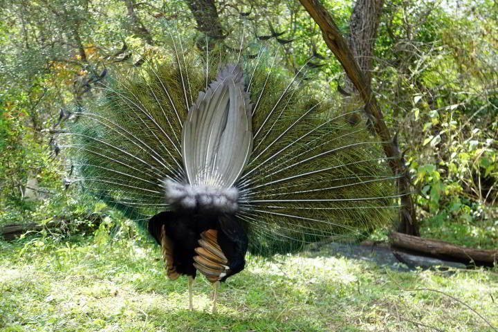 Rear view of peacock winter plumage tail feathers