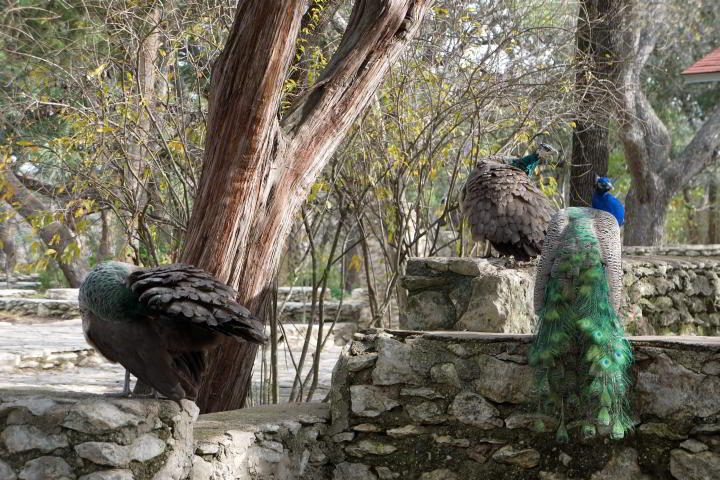Peacocks adorn the stone all at Mayfield Park in Austin