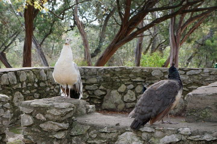 A couple of peahens at Mayfield, the female peafowl, without fancy tail feathers