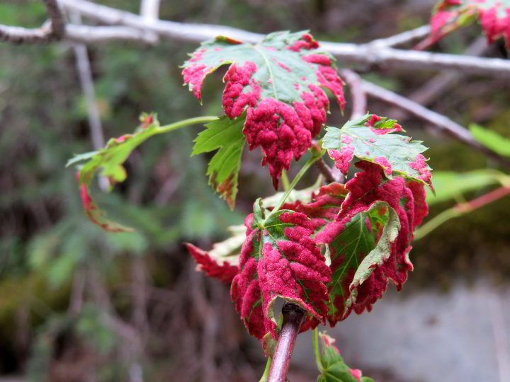 Bright red velvety looking maple leaves are due to Erineum Velvet Galls (mites) at Grotto Canyon hiking trail in Alberta Canada