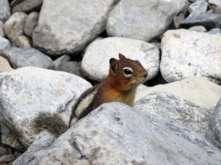Squirrel standing amoung the rocks in Kananaskis Country
