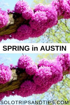 Spring in Austin TX means bright pink redbud flowers blooming
