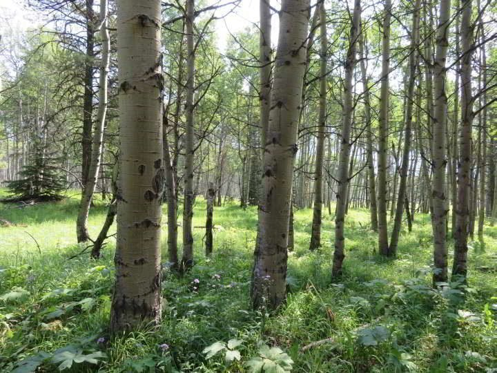 A grove of Aspen trees at the Troll Falls hiking area in Kananaskis Alberta