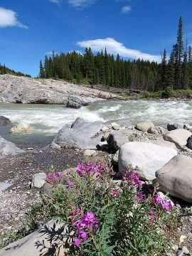 Pink wildflowers along the banks of the Elbow River in Alberta