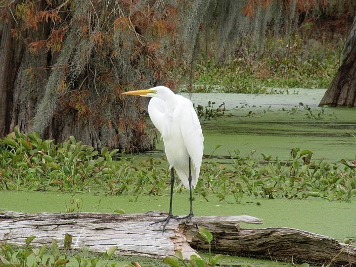 Bright white body, with long legs, and long yellow beak of the Great Egret stand out in Lake Martin LA