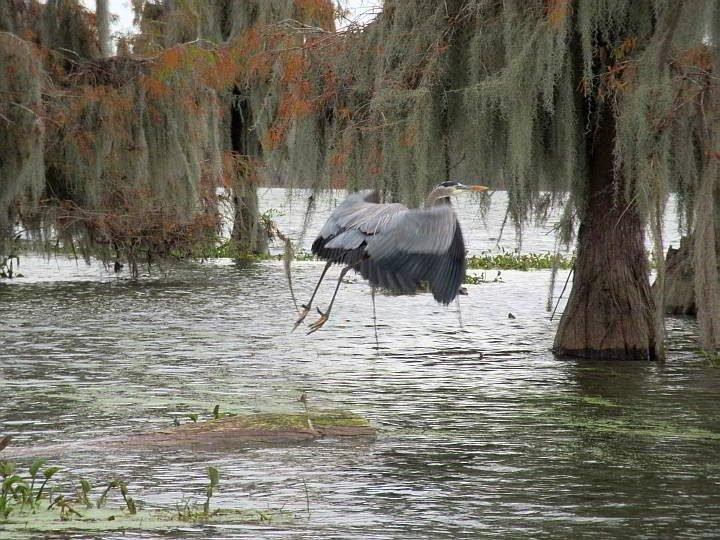 Grey Heron takes flight at Lake Martin near Breaux Bridge Louisiana