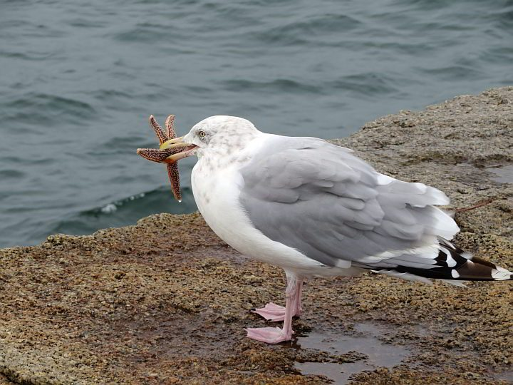 This seagull caught a young starfish for dinner at the Rockland Breakwater in midcoast Maine