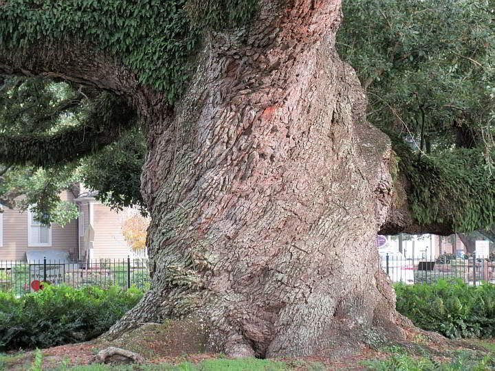 Gigantic tree trunk of the Cathedral Oak in Lafayette Louisiana at St John's Cathedral