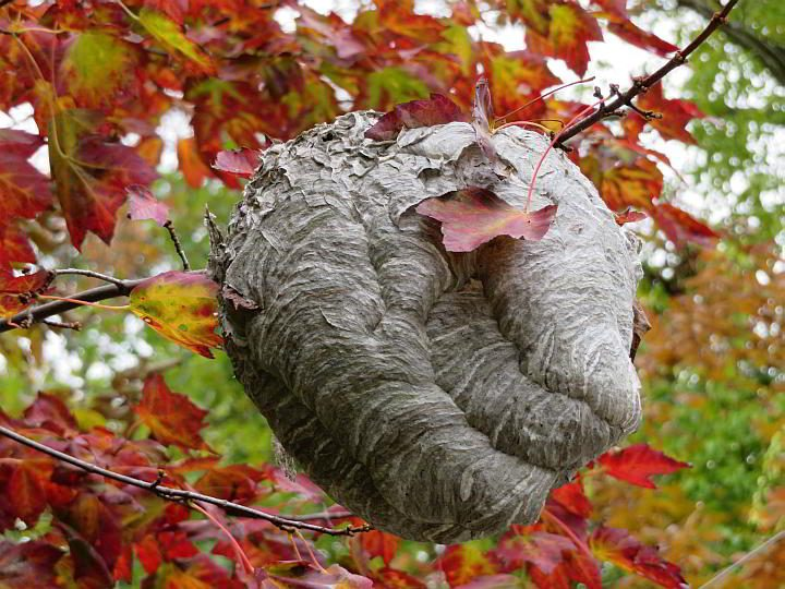 A large gray wasp's nest hanging from a tree during autumn in Maine