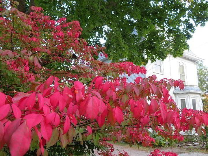 Bright red leaves of the Burning Bush - scientific name: euonymus alatus