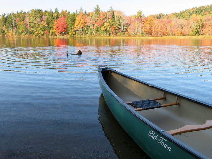 A dog enjoys a swim in the pond while waiting to get in the canoe for an autumn paddling trip