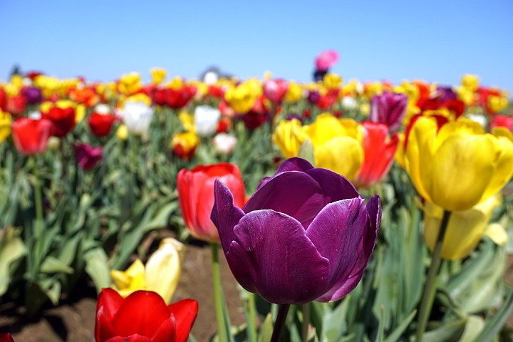 Colorful tulips in the thousands - go to the Wooden Shoe Tulip Festival in Oregon - 30 miles south of Portland
