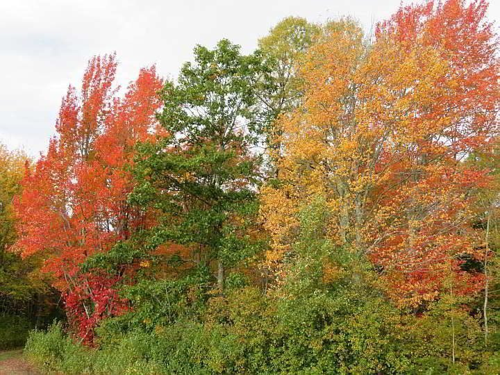 Fall foliage brings intense shades of yellow and orange contrasting with green leaves in Maine
