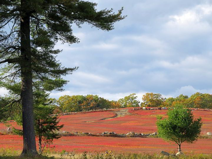 Fall foliage in New England also means brightly colored blueberry bushes