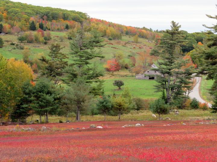 Fall scenery in Maine - a barn and farmland plus colorful blueberry fields
