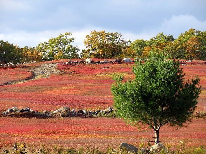 Maine fall colors also features brightly colored red, orange, and yellow blueberry fields
