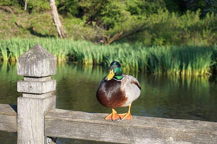 Mallard Duck enjoying a pretty spring afternoon at Crystal Springs Rhododendron Garden in Portland OR