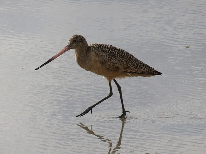 A Marbled Godwit shorebird prances along one of the Carpinteria beaches in California
