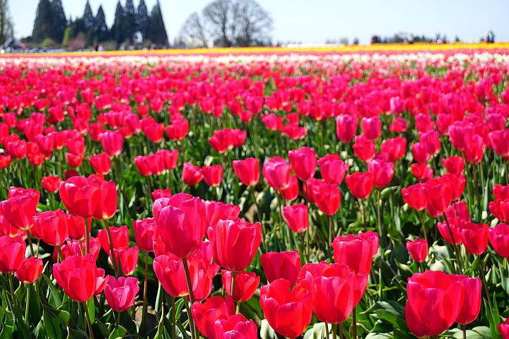 Fields of tulips as far as you can see at the Red Show Tulip Farm south of Portland Oregon