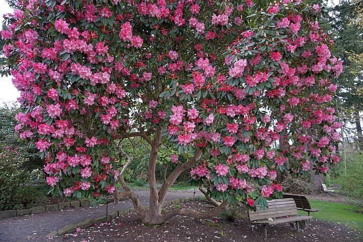 Rhododendron tree in full bloom with bright pink flowers at Crystal Springs Garden in SE Portland