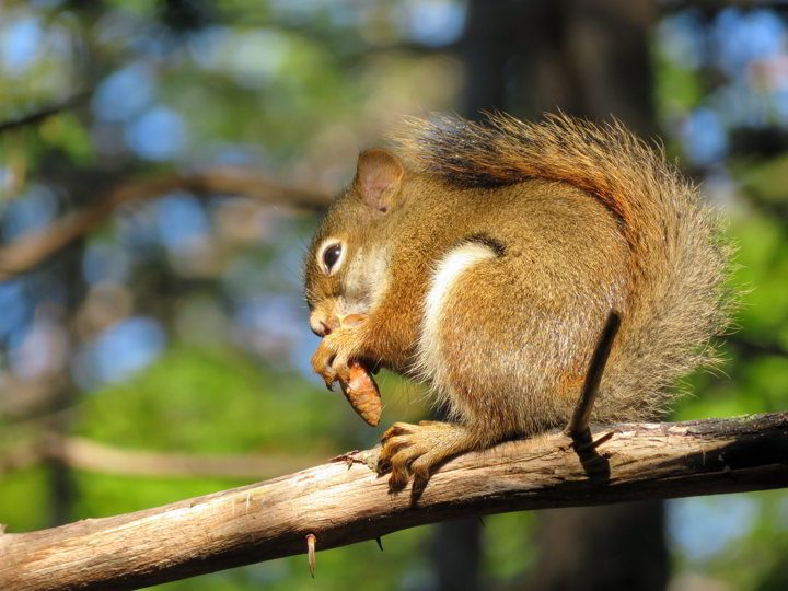 A squirrel sitting in a tree enjoying something to eat
