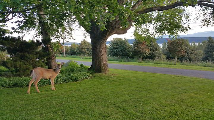Deer are common around Port Townsend Washington