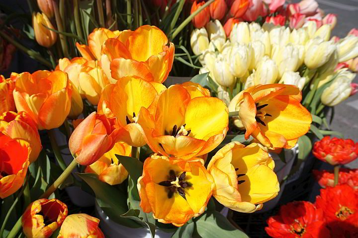 Colorful tulips for sale at Pt Townsend Farmer's Market