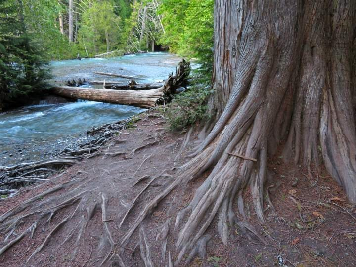 A large tree on the bank and fallen trees lying across the Avalanche Creek at Trail of Cedars