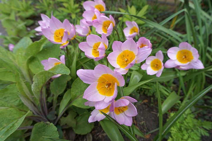 Pink and yellow spring flowers in Port Townsend Washington