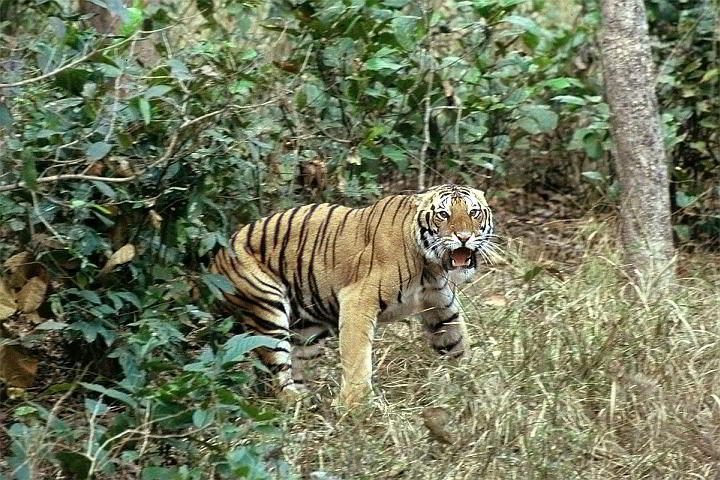 Angry tiger bares its fangs at Kahha National Park in India
