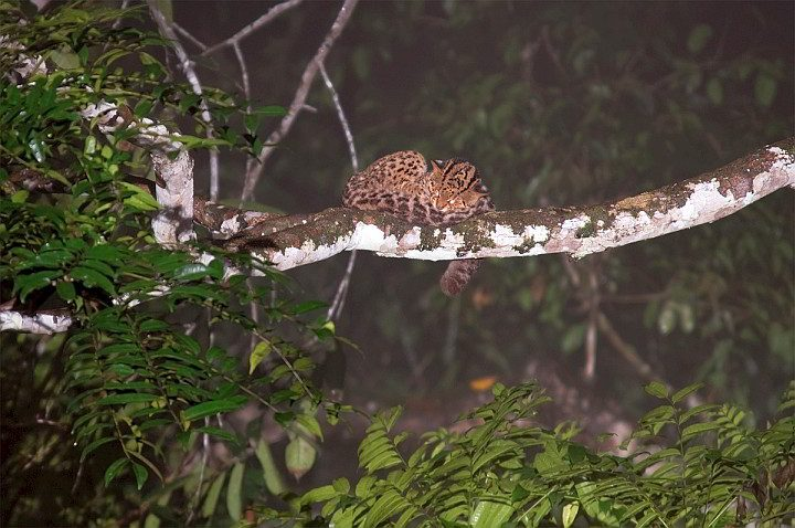 Marbled cat sleeping on a tree branch in Borneo Southeast Asia
