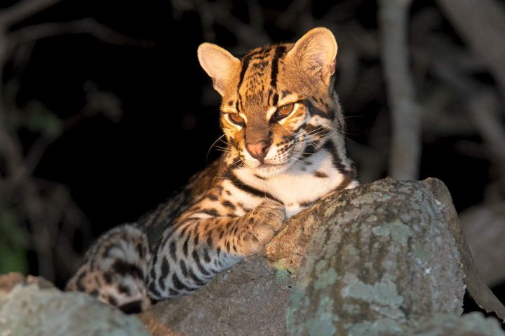 Ocelot in the Pantanal region - Brazilian state of Mato Grosso do Sul