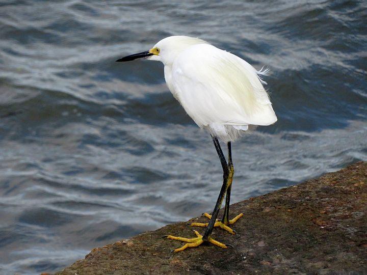 Snowy egret has gold feet and black beak