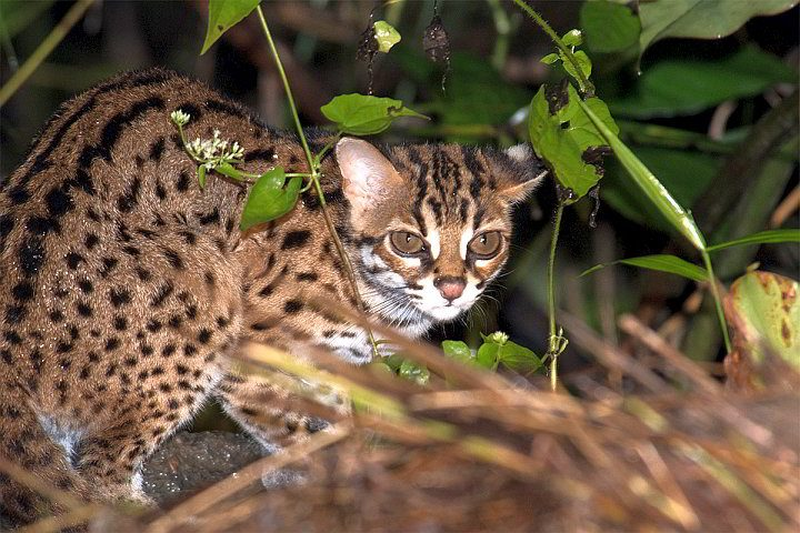 Sunda Leopard Cat in Borneo Southeast Asia